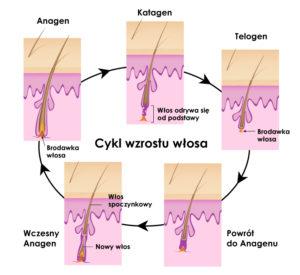 cykl-wzrostu-włosa